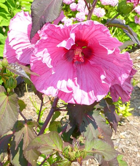 Plum Crazy Perennial Hibiscus, Hardy Hibiscus