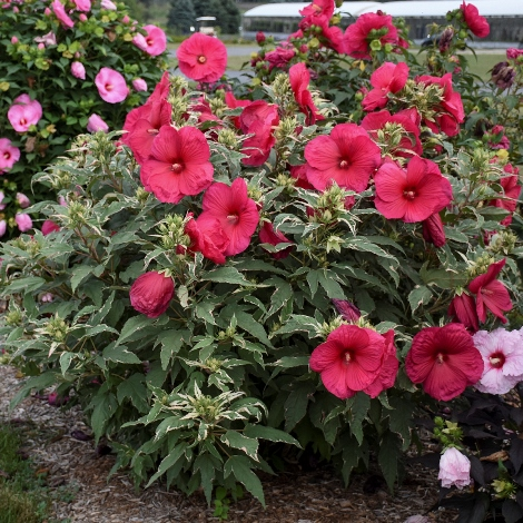 Summer Carnival Variegated Perennial Hibiscus, Hardy Hibiscus