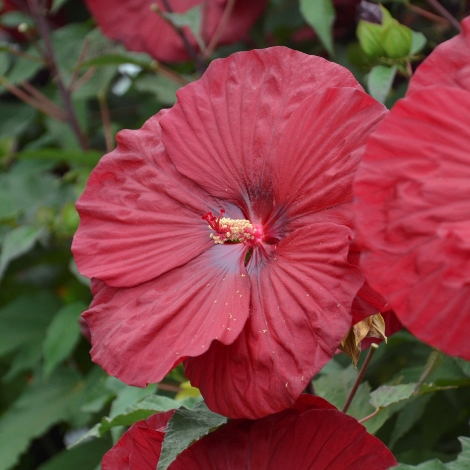 Vintage Wine Perennial Hibiscus, Hardy Hibiscus