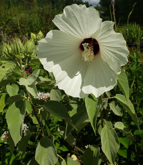 Hairy Swamp Rosemallow, Woolly Swamp Mallow
