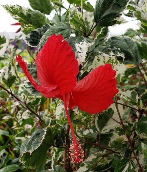 Snow Queen Variegated Hibiscus