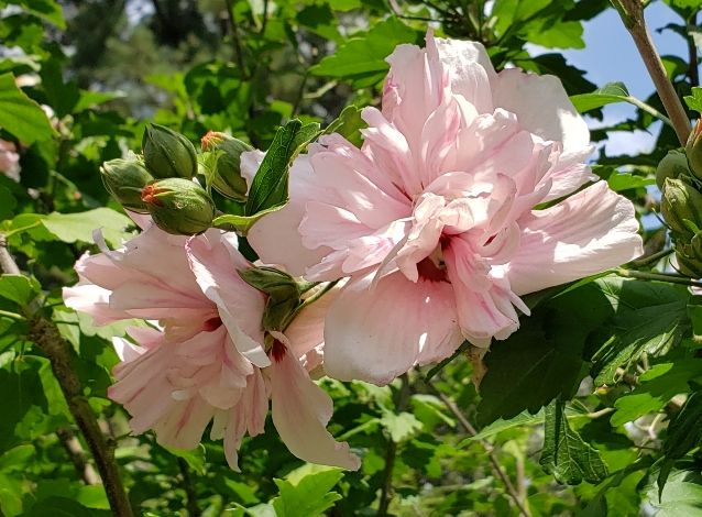 Jimmy's Double Pink Althea, Blushing Bride Rose of Sharon