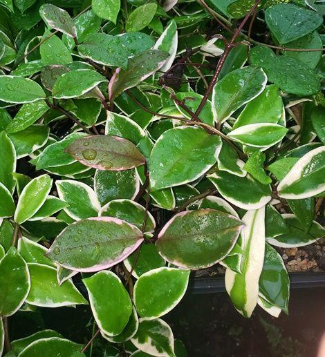 Krimson Queen Variegated Hoya, Porcelain Flower, Wax Flower