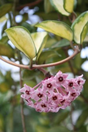 Krimson Princess Hoya, Golden Tricolor Hoya, Porcelain Flower, Wax Flower