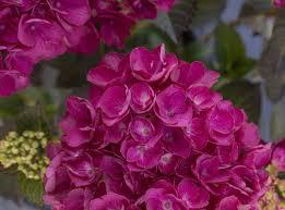 Akadama™ Bigleaf Hydrangea (Dark Mophead, Compact), French Mophead Hydrangea