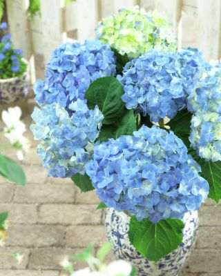 Forever and Ever® Blue Heaven Bigleaf Hydrangea (Mophead, Repeat Flowering), French Mophead Hydrangea