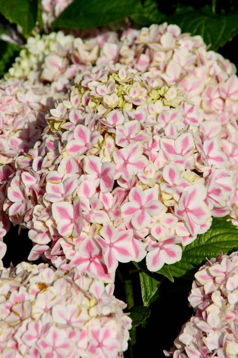 Peppermint Bigleaf Hydrangea (Picotee Mophead, Compact, Repeat Flowering), French Mophead Hydrangea