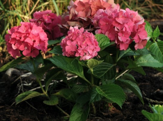Next Generation® Red Sensation Bigleaf Hydrangea (Mophead, Repeat Flowering), French Mophead Hydrangea