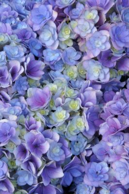 YOU&ME® Together Bigleaf Hydrangea (Dwarf, Double Mophead, Repeat Flowering), French Mophead Hydrangea