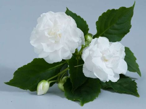 Musica™ White Double Impatiens, Busy Lizzy