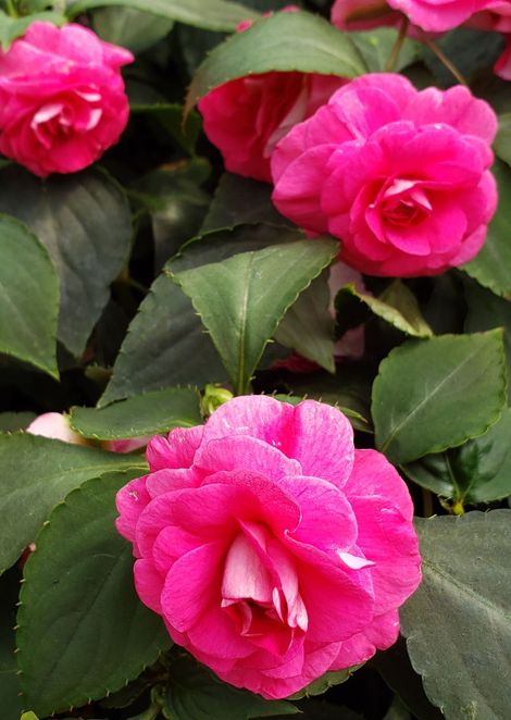 Deep Rose Double Impatiens, Busy Lizzy