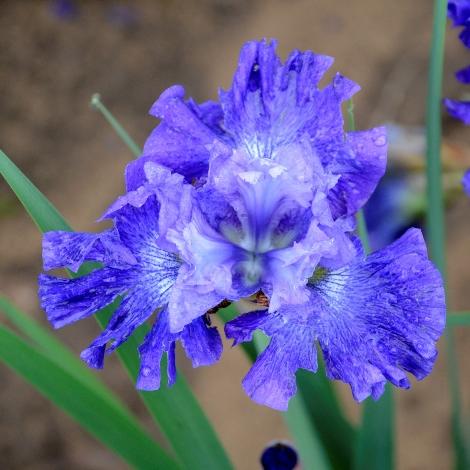 Blueberry Fair Siberian Iris