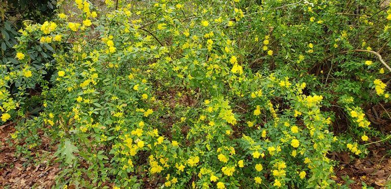 Sunglo Golden Primrose Jasmine, Chinese Jasmine