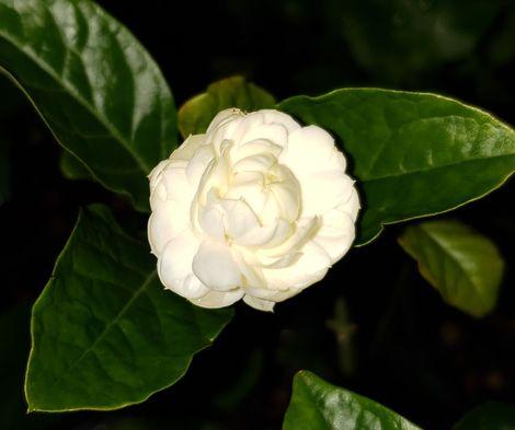 Little Duke of Tuscany Dwarf Sambac Jasmine, Miniature Rose Jasmine