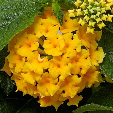 Bandolero® Pineapple Lantana