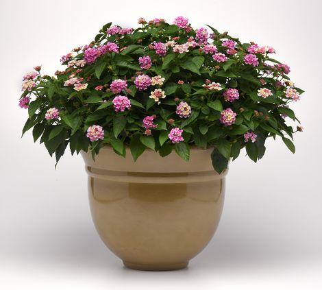 Bloomify™ Pink Lantana
