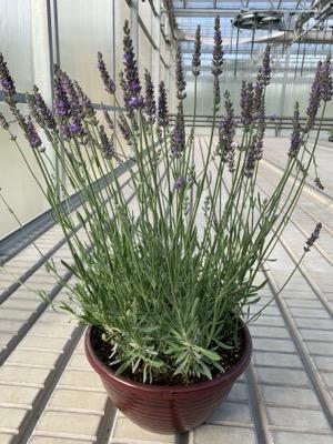 Sensational! Lavender