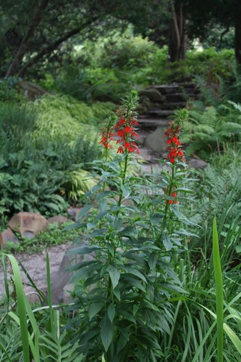 Cardinal Flower, Red Cardinal Flower