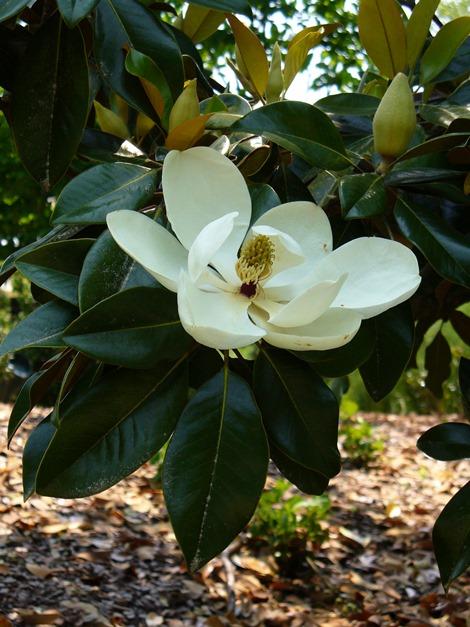 Southern Magnolia, Bull Bay, Evergreen Magnolia, Loblolly Magnolia, Great Laurel Magnolia, Big Laurel