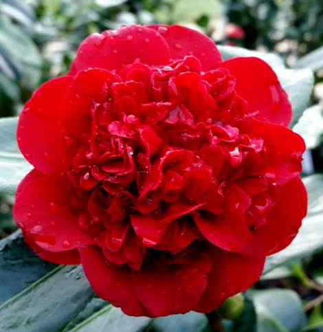 Mary Allen Sargent™ Camellia