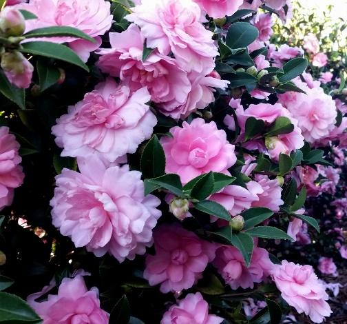 October Magic® Pink Perplexion™ Camellia