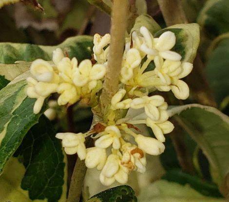 Yinbi Shuanghui Variegated Sweet Olive, Tea Olive, Osmanthus