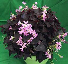 Ebony Allure™ Purple False Shamrock, Oxalis, Wood Sorrel