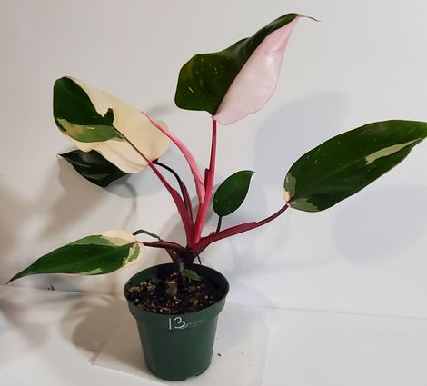 #13 Pink Princess Philodendron