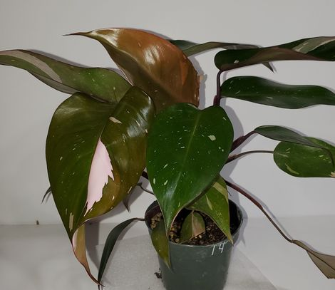 #14 Pink Princess Philodendron