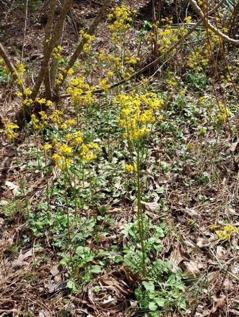 Golden Groundsel, Golden Ragwort, Butterweed