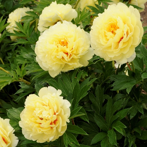Bartzella Intersectional or Itoh Hybrid Peony