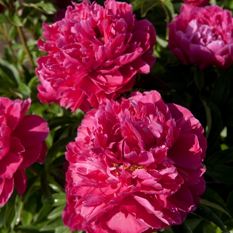 Karl Rosenfeld Intersectional or Itoh Hybrid Peony