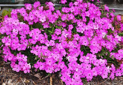 Pink Profusion Phlox