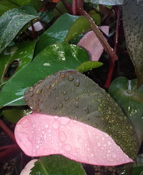 #16 Pink Princess Philodendron