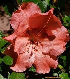 Hilda Niblett Evergreen Azalea (Robin Hill Hybrid)