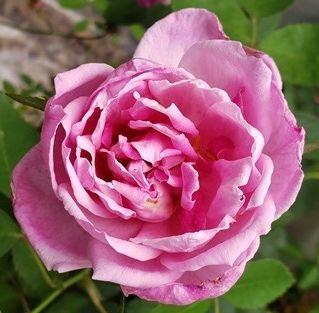 Grandmother's Hat Rose, Barbara Worl Rose, Cornet Rose, Mrs RG Sharmon- Crawford Rose, and Northside Pink Rose