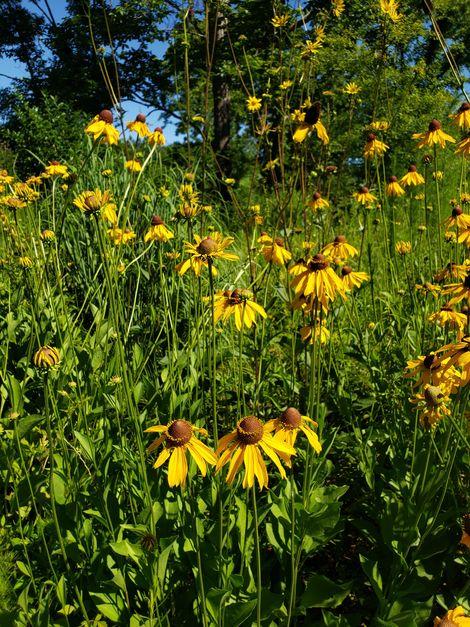 Large-Flower Coneflower, Tall Coneflower, Rough Coneflower, Black-Eyed Susan
