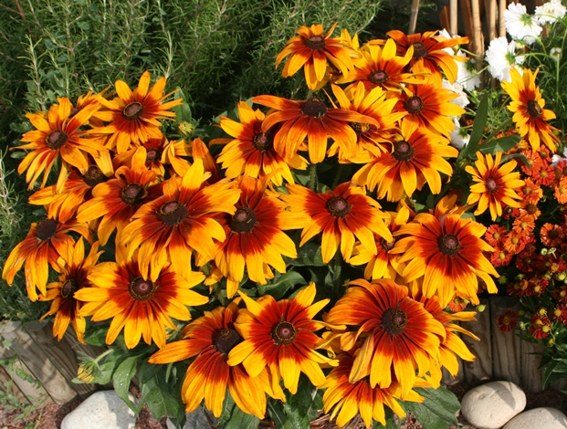 Cappuccino Black-Eyed Susan, Pinewoods Coneflower, Rudbeckia, Gloriosa Daisy, Yellow Ox-Eye Daisy