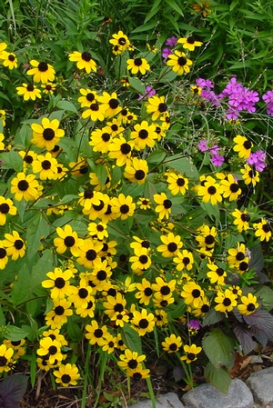 Brown-Eyed Susan, Thin-Leaved Coneflower, Three-Leaf Rudbeckia