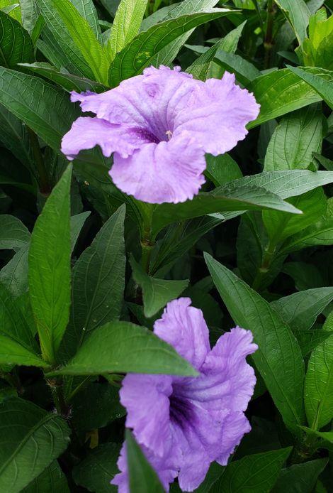 Machu™ Morado Ruellia, Mexican Petunia, Desert Petunia, Mexican Blue Bells, Florida Bluebells