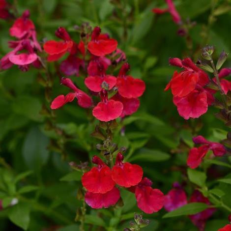 Mirage™ Cherry Red Salvia, Autumn Sage