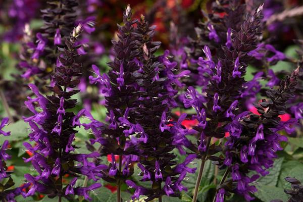 Purple & Bloom Salvia, Anise Sage