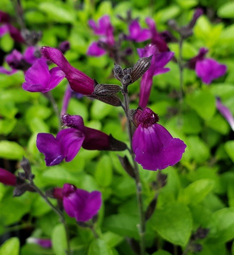 Vibe® Ignition Purple James Sage, Autumn Sage