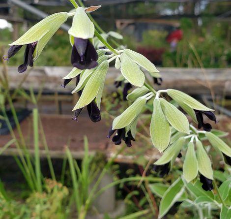 Andean Silver-Leaf Sage, Peruvian Sage, Concolor Sage