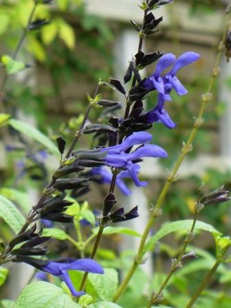 Black and Blue Salvia, Anise Sage