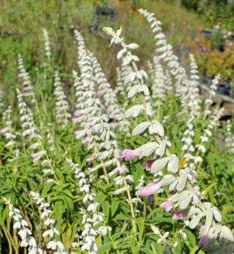 Danielle's Dream Mexican Bush Sage, Pink Mexican Bush Sage, Salvia