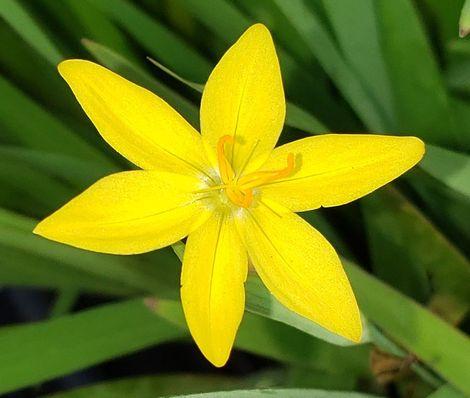Yellow-Eyed Grass, Golden-Eyed Grass, Yellow Blue-Eyed Grass