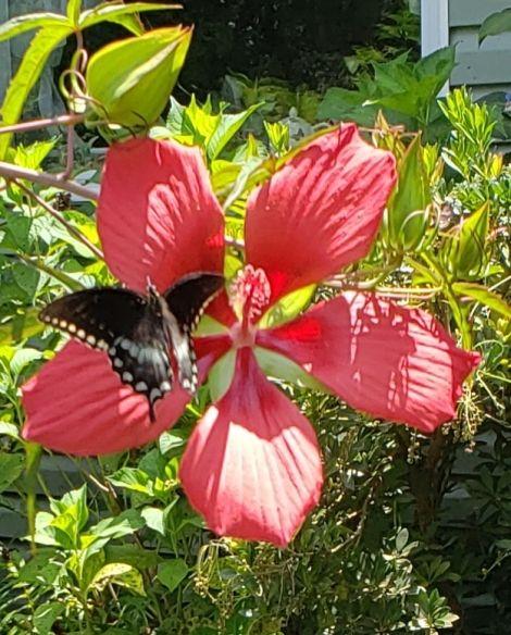 Red Texas Star Perennial Hibiscus, Scarlet Rose Mallow, Swamp Hibiscus, Swamp Mallow