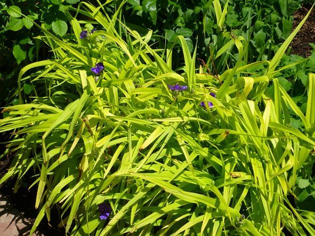 Sweet Kate Spiderwort, Tradescantia