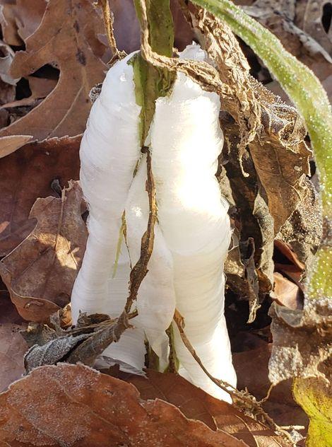 White Frostweed, White Crownbeard, Virginia Frostweed, Indian Tobacco, Squawweed, Richweed